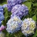 土にヒミツあり! 日本のアジサイが青くなる理由